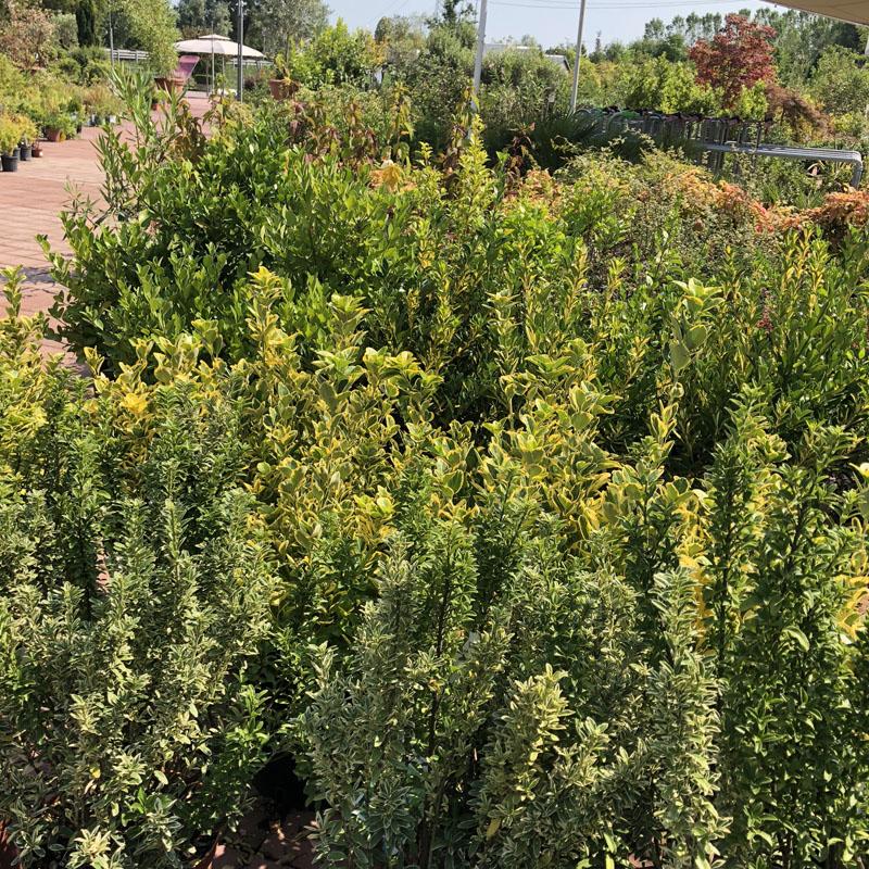 Le offerte del garden center il germoglio for Piante mediterranee da giardino