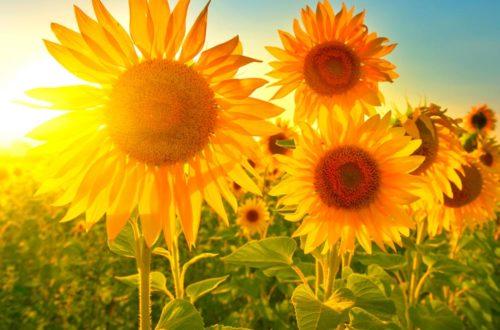 Coltivare il girasole, il fiore che segue il sole thumb