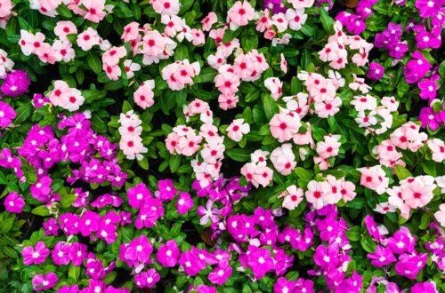 Coltivare la Vinca, la pianta dalla lunghissima fioritura thumb