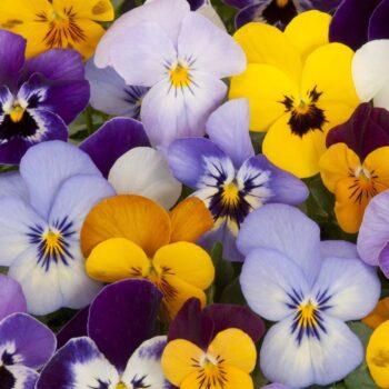 100 sfumature di violethumb