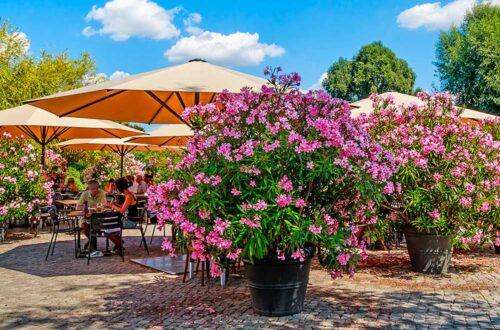 Arbusti mediterranei, gran spettacolo con poche cure thumb